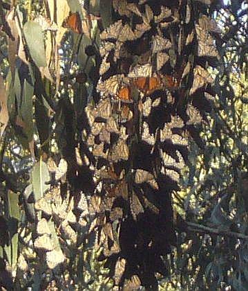 Clumps of monarch butterflies