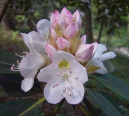 Rhod. blooms