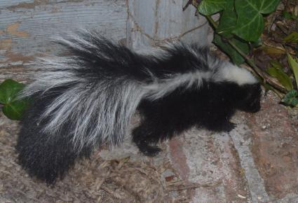 Skunk leaving