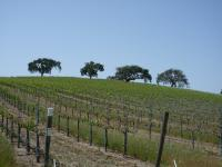 Four trees on a ridge above a vineyard
