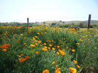 Poppies and a field