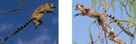 Leaping Lemurs!