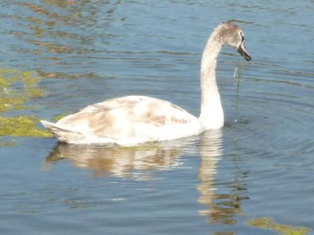 Swan in the afternoon