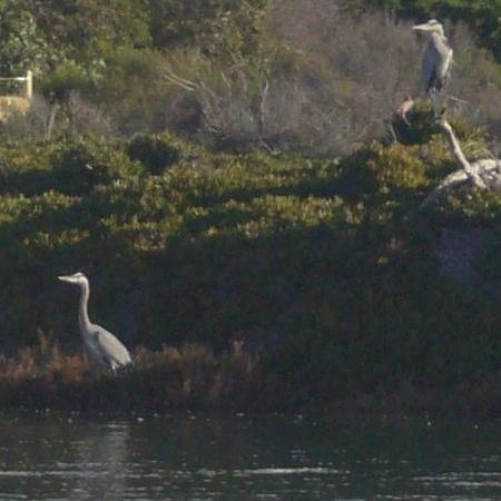 blueherons-13dec08