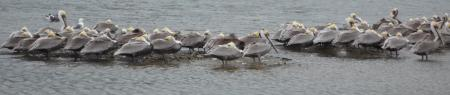 A Huddle of Pelicans