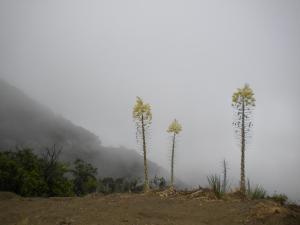 Three Yucca