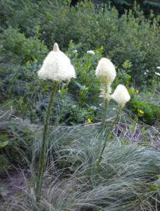 Pasquelflowers