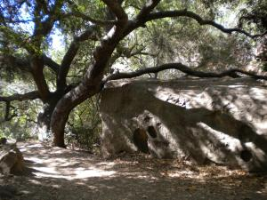 Live Oaks and a rock near the start of Cold Spring trail