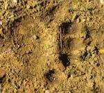 Mountain lion print?