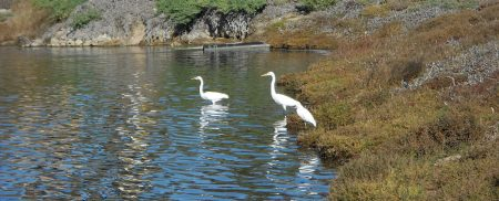 Snowy Egrets in the UCSB Lagoon