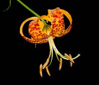 Lilium humboltii flower