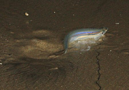 Grunion Leaving Hole