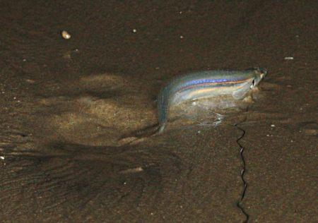 Grunion Leaving Hole