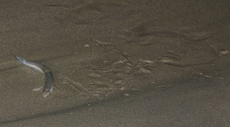 Grunion Squirming