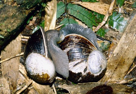 Helicophanta ibaraoensis mating Jan 1999