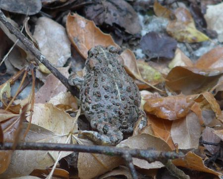 The western toad Bufo boreas halophilus