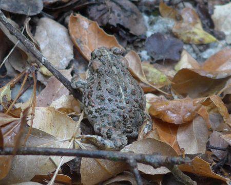 The western toad Bufo boreas halophilus
