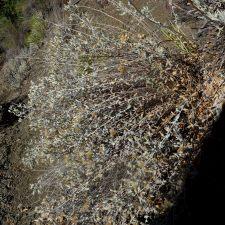 Brickellia-nevinii-plant