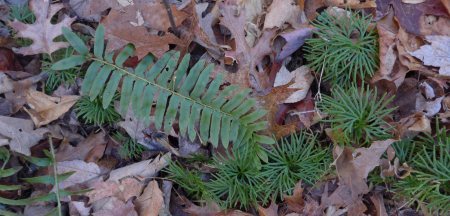 Christmas Fern / Creeping Cedar