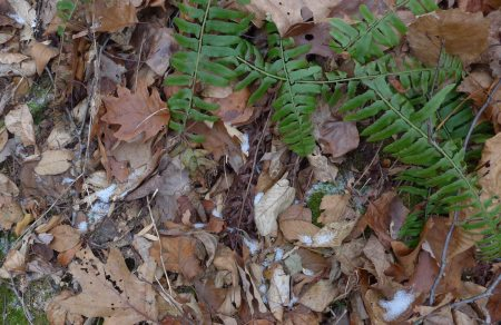 Christmas Fern Snow
