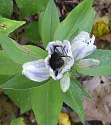 Gentian-Bee1